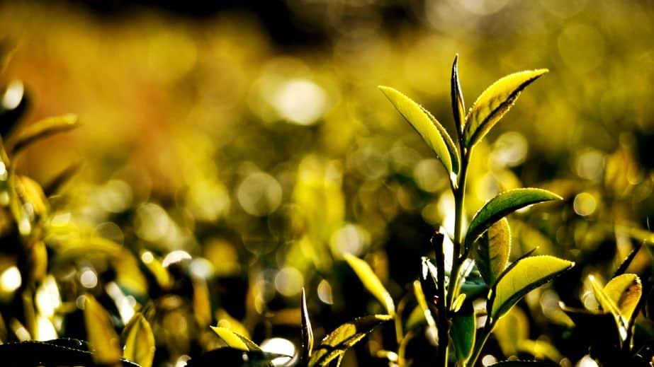 Thia Tea Leaf
