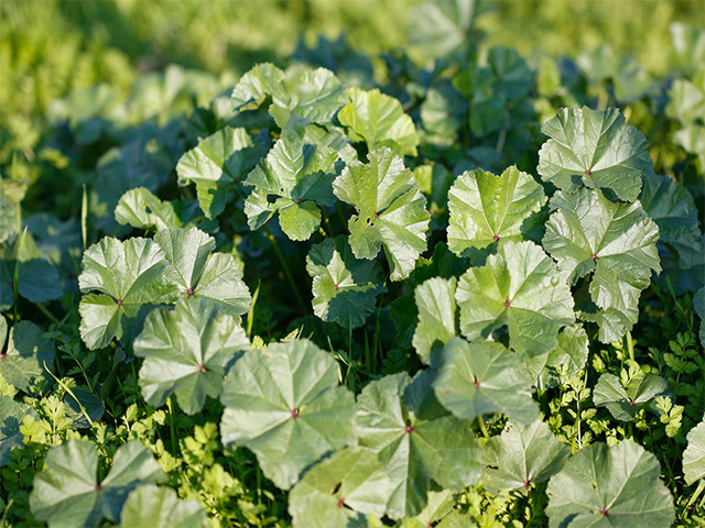 Malva Leaves